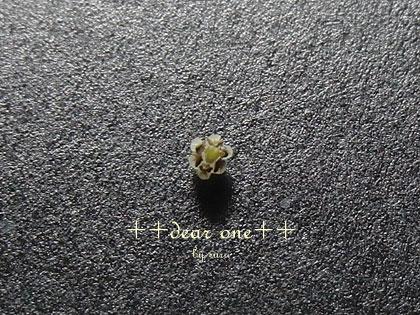 テーブルヤシの花130513_17