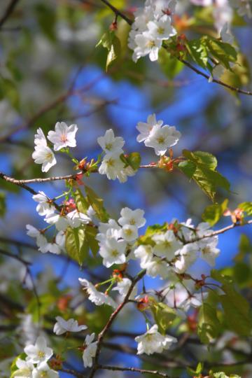 2012.05.23-桜-25