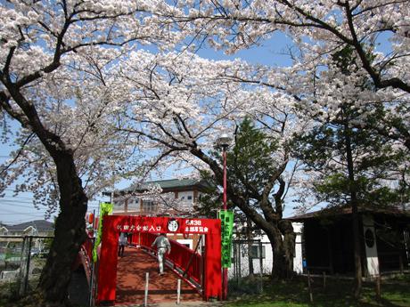 0501-5-桂城公園 桜3