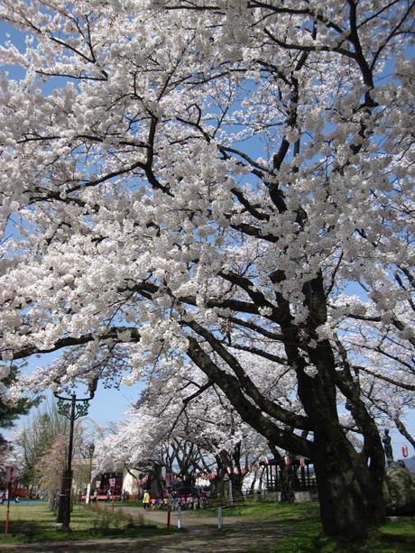 0501-4-桂城公園 桜2