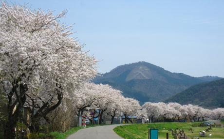 0501-12-長木川 桜