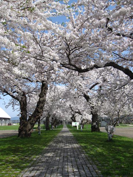 0501-11-ドーム 桜