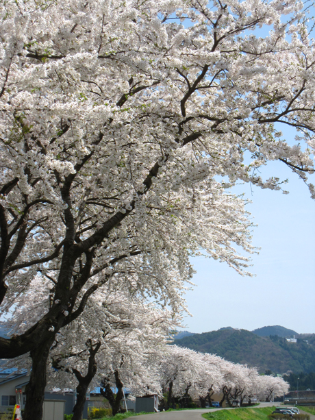 0501-8-長木川 桜1