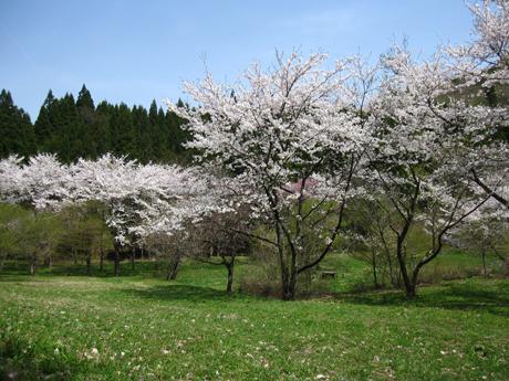 0501-7-ふれあい 桜2