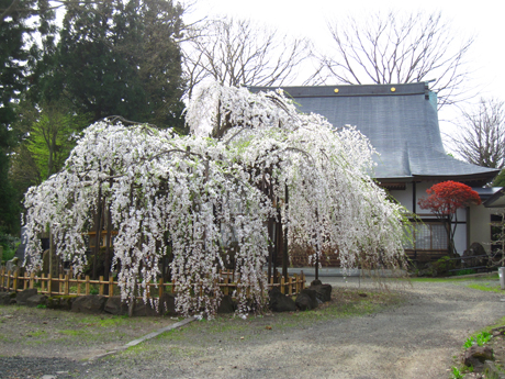0501-14-浄応寺 枝垂桜