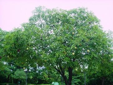 ポンポンの木