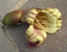 ぺーカー花