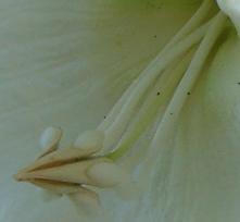 ヒランニガー花2