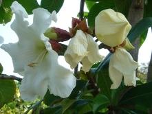 ヒランニガー花