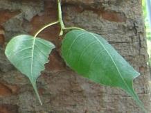 インド菩提樹か 5