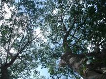 インド菩提樹か
