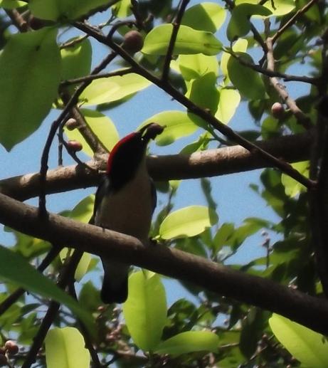 頭の赤い鳥