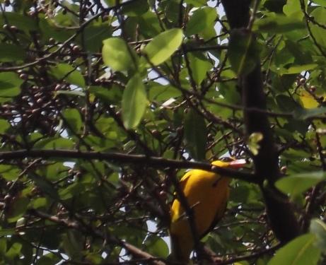 腹が黄色い鳥 2
