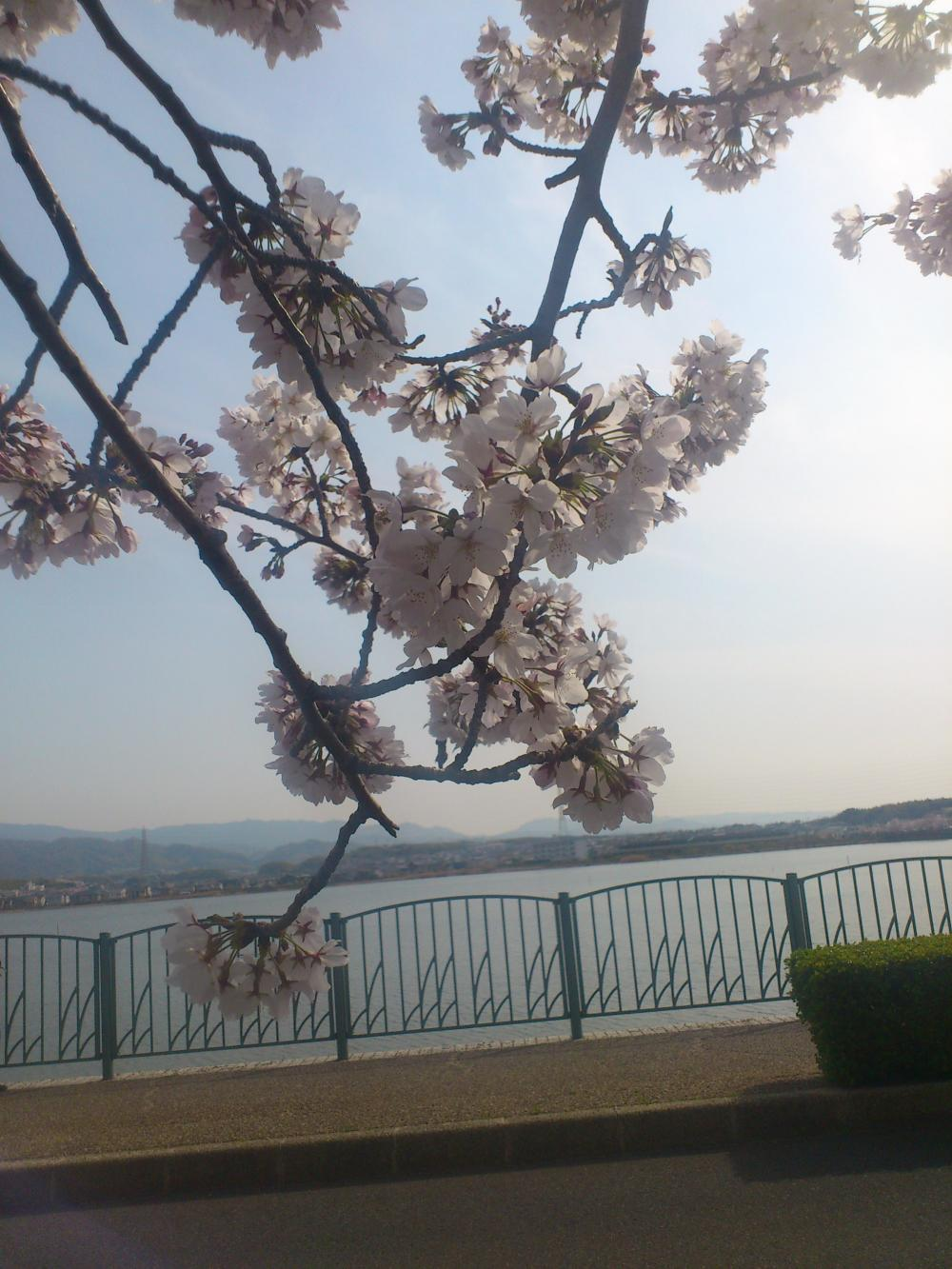 2013-04-02-sakura3.jpg