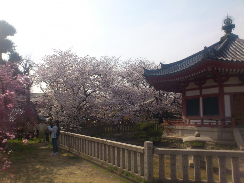 2013-04-02-sakura6.jpg