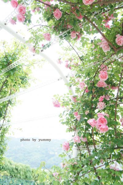 植物公園バラ