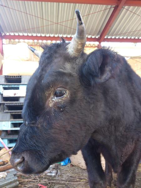 dsc_0246_3希望の牧場 牛