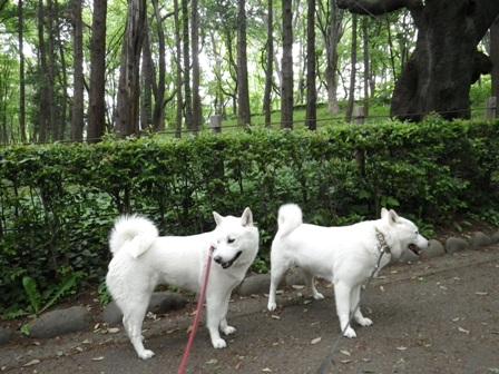 2012.5.8 いつもの散歩