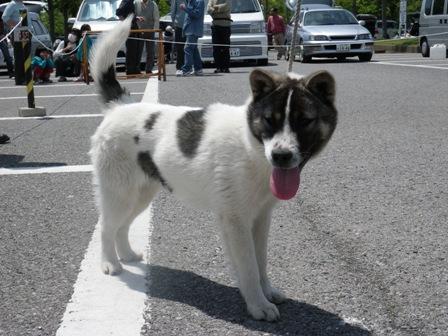 2012.5.13 紀州犬・斑