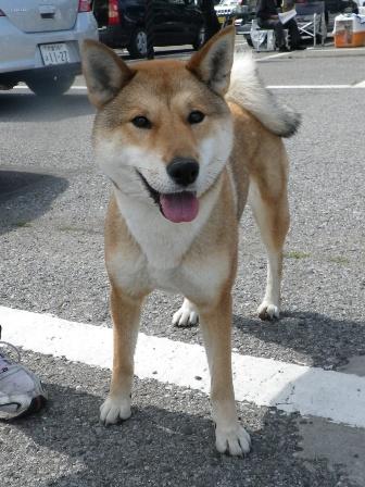 2012.5.13 四国犬・さくらちゃん