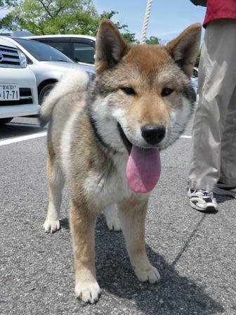 2012.5.13 四国犬