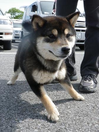2012.5.13 黒柴君