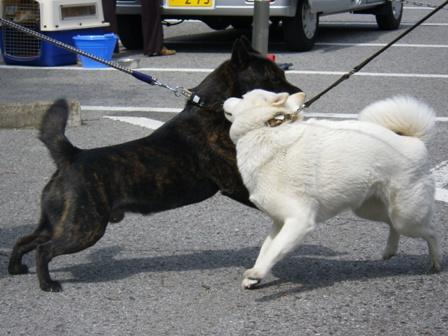 2012.5.13 甲斐犬vs花鈴
