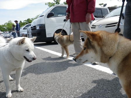 2012.5.13 四国犬vs花鈴
