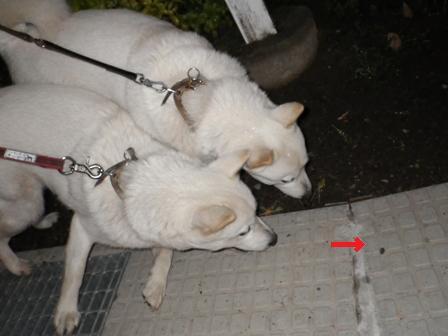 2012.6.2 夜の散歩・アマガエルが…