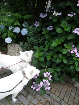 2012.6.12 紫陽花と…
