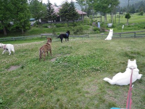 2012.6.25 d ゴルフ場のネコが気になる犬たち