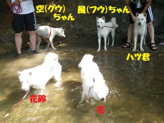 2012.7.30 巾着田・紀州犬親子&北海道犬親子