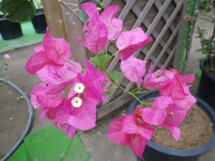 2012.9.6 ピンクの花?