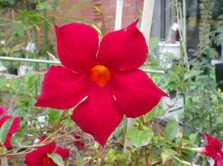 2012.9.6 赤い花