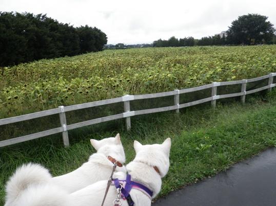 2012.9.11 花ロードえにわ・ひまわり畑