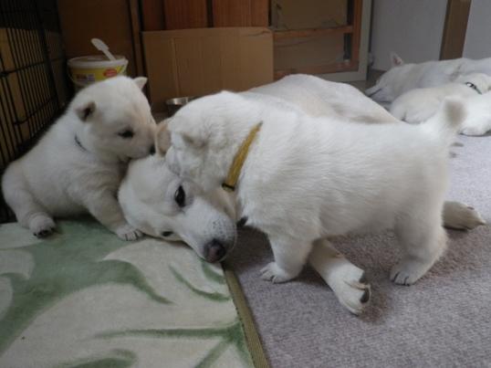 2012.12.7 花と遊ぶ三狼(右)と二狼