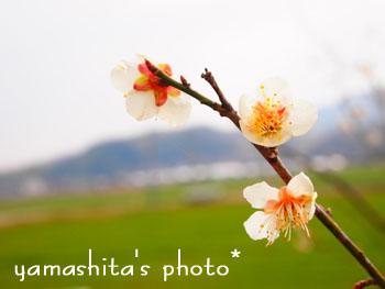 H25 梅の花