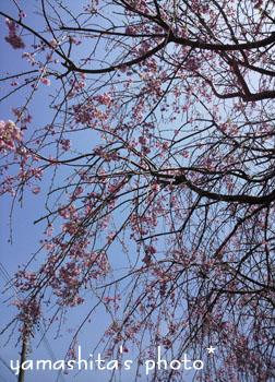 H25 桜