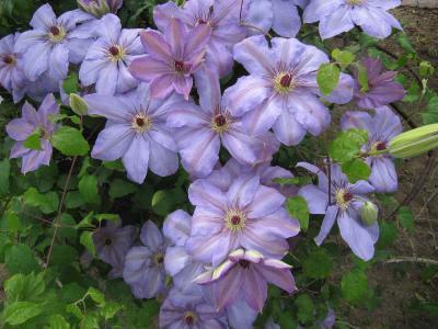 薄紫テッセン
