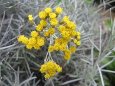 黄色ラベンダー開花1