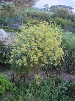 アスパラ花