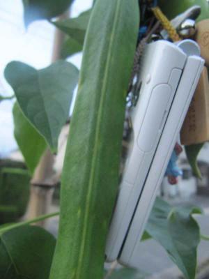 携帯と名刀豆