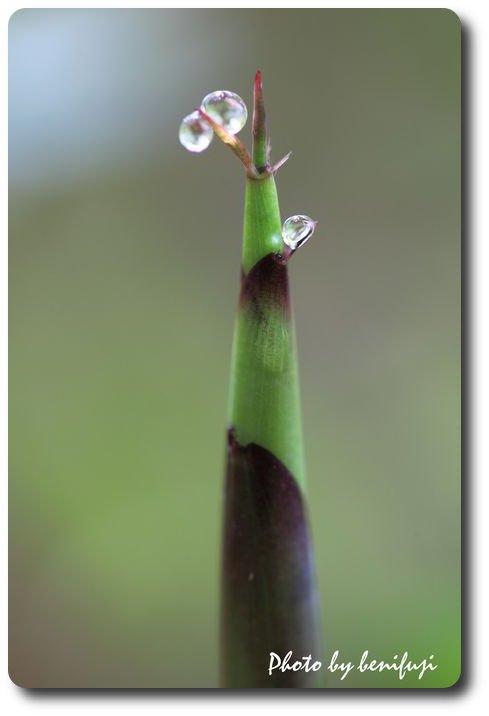 クマ笹のタケノコ