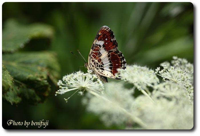 伊吹山の花とチョウ
