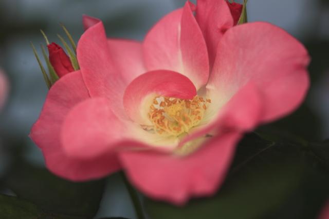 鉢植えサラサ