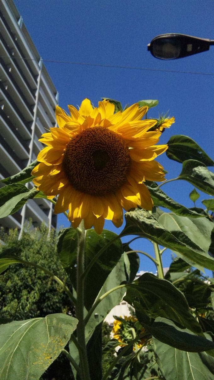 Sun  Flower_20120805