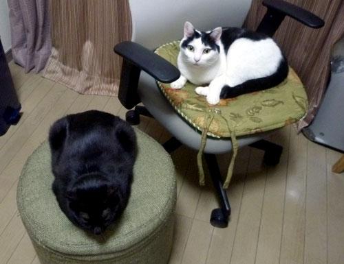 二つのイスを占拠する猫たち