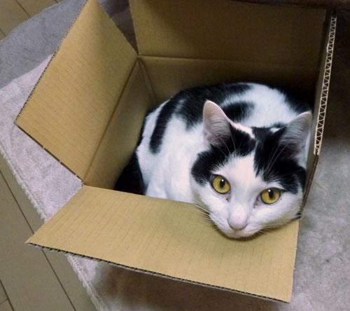 ダンボール箱の中に居るネコ