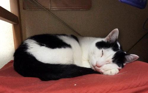 寝ている白黒猫