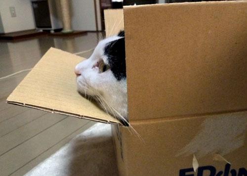 ダンボール箱の猫の横顔
